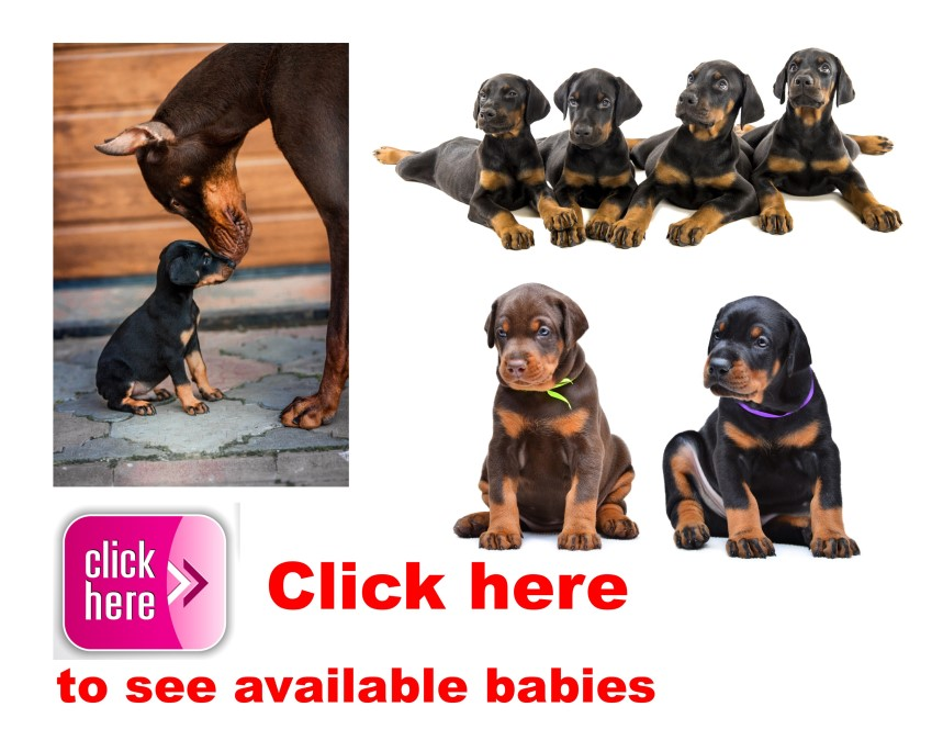 Doberman Pinscher, puppy, puppies, kennels, breeder, breeders, puppies for sale, for, sale, adoption